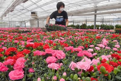 母の日を前に出荷される赤やピンクのカーネーション=北九州市小倉南区の「奥野農園」で2021年5月1日、平川義之撮影