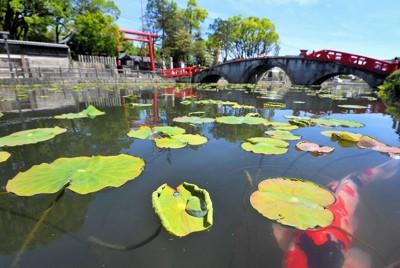 青井阿蘇神社の蓮池で新芽を出し、水面を彩るハス=熊本県人吉市で、津村豊和撮影