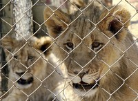 In this photo supplied by Blood Lions a couple of sub adult lions are held at a captive tourism facility in South Africa Sept 9, 2019. (Pippa Henkinson / Blood Lions via AP)