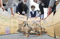 Ducklings are seen being guided by locals as they move to the Kamo River in Kyoto's Sakyo Ward on May 13, 2021. (Mainichi/Kazuki Yamazaki)