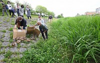Ducklings are seen arriving at the Kamo River guided by locals with sections of cardboard in Kyoto's Sakyo Ward on May 13, 2021. (Mainichi/Kazuki Yamazaki)