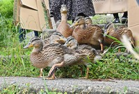 Ducklings are seen going down steps, guided by locals with sections of cardboard, toward the Kamo River in Kyoto's Sakyo Ward on May 13, 2021. (Mainichi/Kazuki Yamazaki)