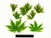 Five leaves of wolfsbane, above, and two leaves of momijigasa, or Parasenecio delphiniifolius, are seen. (Photo courtesy of the Toyama municipal public health center)