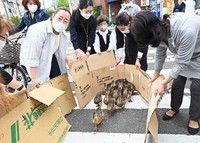 Ducklings, guided by locals with cardboard sections, traverse a pedestrian crosswalk in Kyoto's Sakyo Ward on May 13, 2021. (Mainichi/Kazuki Yamazaki)