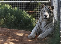 In this Aug. 28, 2013, file photo, one of the tigers living at the Greater Wynnewood Exotic Animal Park is pictured at the park in Wynnewood, Okla. (AP Photo/Sue Ogrocki)