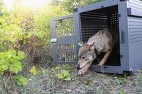 In this Sept. 26, 2018, file photo, provided by the National Park Service, a 4-year-old female gray wolf emerges from her cage as it is released at Isle Royale National Park in Michigan. (National Park Service via AP)