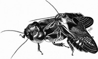 This drawing by Haruka Osaki shows a wood-feeding cockroach pair eating each other's wings. (Image courtesy of Haruka Osaki)