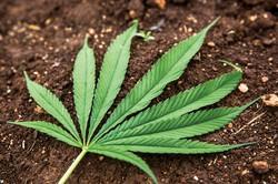 タイは19年に大麻の使用を合法化した (Bloomberg)