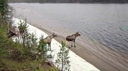 """番組「ヘラジカの大移動」のワンシーン 提供:SVT""""The Great Moose Migration"""""""
