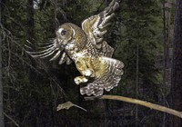 In this May 8, 2003, file photo, a northern spotted owl flies after an elusive mouse jumping off the end of a stick in the Deschutes National Forest near Camp Sherman, Ore.  (AP Photo/Don Ryan)