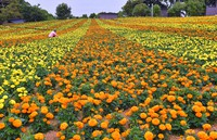 Marigolds in full bloom are seen at Nokonoshima Island Park as an employee tends to the flowers, in Fukuoka's Nishi Ward on June 6, 2021. (Mainichi/Minoru Kanazawa) =Click/tap photo for more images.