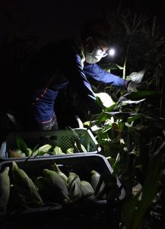 Corn is seen being harvested in the dark before sunrise in Hekinan, Aichi Prefecture, on June 9, 2021. (Mainichi/Motoyori Arakawa)