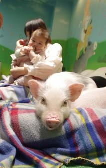 A micro pig is seen at Mipig Cafe in Koshigaya, Saitama, on April 12, 2021. (Mainichi/Mineichiro Yamakoshi)
