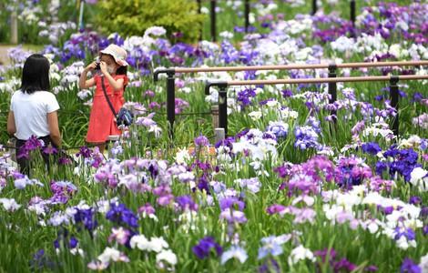 Japan Photo Journal: 6,000 iris flowers in full bloom at Tokyo garden