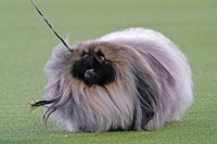A Pekingese walks with its handler in the Best in Show at the Westminster Kennel Club dog show, on June 13, 2021, in Tarrytown, N.Y. (AP Photo/Kathy Willens)
