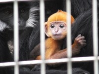 A baby Francois' leaf monkey born on May 21, 2021 is seen at Osaka Tennoji Zoo in the city of Osaka's Tennoji Ward on June 22, 2021. The endangered monkey species is native to southern China and northern Vietnam. The adults are black with white cheeks, but their babies' fur is orange. The baby will stay orange until around October, according to the zoo. (Mainichi/Shiro Matsui)