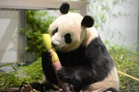 Giant panda Shin Shin is seen at Ueno Zoological Gardens in this June 3, 2021 photo provided by the Tokyo Zoological Park Society.
