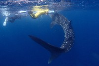 This photo provided by Katsumasa Taniguchi shows the whale shark spotted off the coast of Kushimoto in Wakayama Prefecture on the morning of June 23, 2021.