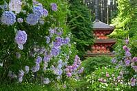 Hydrangea flowers are seen in full bloom at Gansenji temple in Kizugawa, Kyoto Prefecture, on June 20, 2021. (Mainichi/Kazuki Yamazaki)