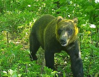 A brown bear is seen in this photo taken by an automatic camera in Shibetsu, Hokkaido, on July 18, 2020. (Photo courtesy of nonprofit organization South Shiretoko Brown Bear Information Center)