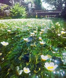 """Small white """"baikamo"""" flowers float in a clear stream in Maibara, Shiga Prefecture. (Mainichi/Daiki Takikawa)"""