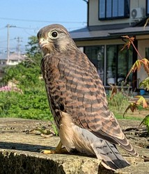 A common kestrel chick is seen in this photo taken on June 1, 2021. (Photo courtesy of Takahata Elementary School)