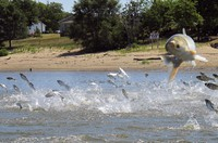 In this June 13, 2012, file photo, Asian carp, jolted by an electric current from a research boat, jump from the Illinois River near Havana, Ill. (AP Photo/John Flesher)