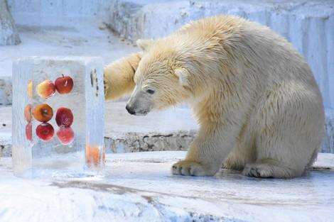 Ho-chan the polar bear cub touches a block of ice with apples inside at Osaka Tennoji Zoo on July 19, 2021. (Mainichi/Yusuke Kori)
