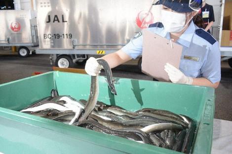 A Narita Branch Customs employee is seen checking imported eels at Narita International Airport in Narita, Chiba Prefecture, on July 20, 2021. (Mainichi/Tadakazu Nakamura)