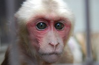 This photo shows Gorin the stump-tailed macaque right after birth. When young, the macaques have beautiful white coats. (Photo courtesy of Tobe Zoological Park of Ehime Prefecture)
