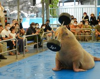 This photo shows a walrus holding up a paper barbell at Toba Aquarium in Toba, Mie Prefecture. (Kazushige Hayashi)