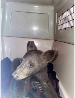 In this July 25, 2021, photo provided by Lake Tahoe Wildlife Care is a bear cub that was taken in for treatment after it suffered burns in a California wildfire, to Lake Tahoe Wildlife Care in South Lake Tahoe, Calif. (Lake Tahoe Wildlife Care via AP)