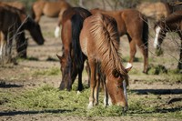 In this March 10, 2021, file photo, Salt River wild horses eat hay at a site for emergency feeding run by the Salt River Wild Horse Management Group near Coon Bluff in the Tonto National Forest near Mesa, Ariz. (AP Photo/Sue Ogrocki)