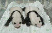 The twin giant pandas, a male cub, left, and a female cub, are seen on July 26, 2021. (Photo courtesy of the Tokyo Zoological Park Society)