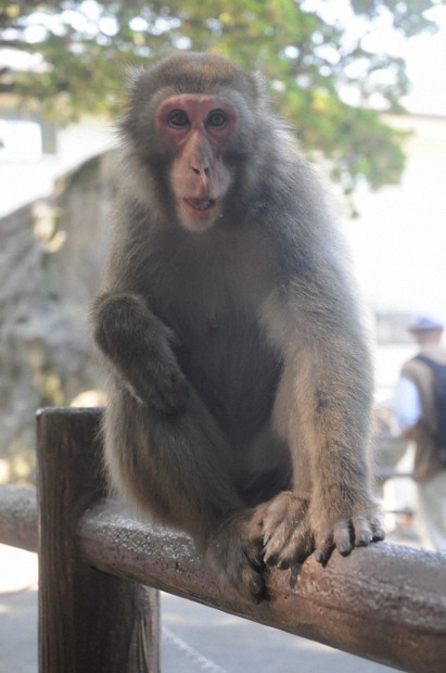 Yakei, who has become the first female boss of a monkey troop at Takasakiyama Natural Zoological Garden, is seen at the facility in the city of Oita on July 30, 2021. (Mainichi/Nao Ishii)