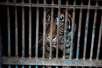 In this photo released by Jakarta province government, a sumatran tiger who contracting COVID-19 looks out from a cage at the Ragunan Zoo in Jakarta, Indonesia, July 31, 2021. (Dadang Kusuma WS/Jakarta Province Government via AP)