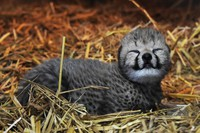 The first baby cheetah born at Adventure World in 15 years is seen in Shirahama, Wakayama Prefecture, on July 29, 2021. (Photo courtesy of Adventure World)