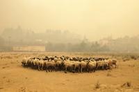 Sheep gather during a wildfire near Limni village on the island of Evia, about 160 kilometers north of Athens, Greece, on Aug. 4, 2021. (AP Photo/Thodoris Nikolaou)