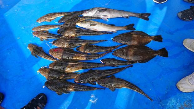 マゴチ大漁の日。ヒラメやスズキも釣れた