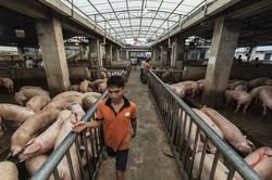 中国養豚業は年々大規模化が加速する(中国・広西チワン族自治区南寧市) Bloomberg