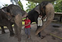 Elephant owners Niraj Roshan Samarakkodi, in white shirt, and his wife Chamali pet their beasts, Kandula, right and Suddi at a compound in Pannipitiya, a suburb of Colombo, Sri Lanka, on Sept. 12, 2021. (AP Photo/Eranga Jayawardena)