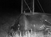 A huge brown bear that appears to have attacked cattle is captured by a security camera in the town of Shibecha, Hokkaido, on the night of Aug. 13, 2019. Behind him is a trap box. (Photo courtesy of the Shibecha Municipal Government)