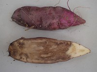 Sweet potatoes infected with foot rot disease are seen in this photo, with the lower potato's black rot inside shown. (Photo courtesy of the National Agriculture and Food Research Organization)