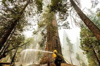 A firefighter hoses down hot spots around a sequoia tree in the Trail of 100 Giants of Sequoia National Forest, Calif., as the Windy Fire burns on Sept. 20, 2021. (AP Photo/Noah Berger)