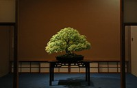 A maple bonsai, about 30 centimeters tall, is seen decorating a room at Seikouen in Saitama's Kita Ward on Sept. 1, 2021. The leaves change color depending on the season, and the tree continues to grow in the planter for many years. (Mainichi/Hiroshi Maruyama)