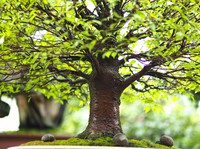 A bonsai miniature tree standing about 40 centimeters tall is seen at Seikouen in Saitama's Kita Ward on Sept. 1, 2021. The tree is a Japanese zelkova aged approximately 60 years. (Mainichi/Hiroshi Maruyama) =Click/tap photo for more images.