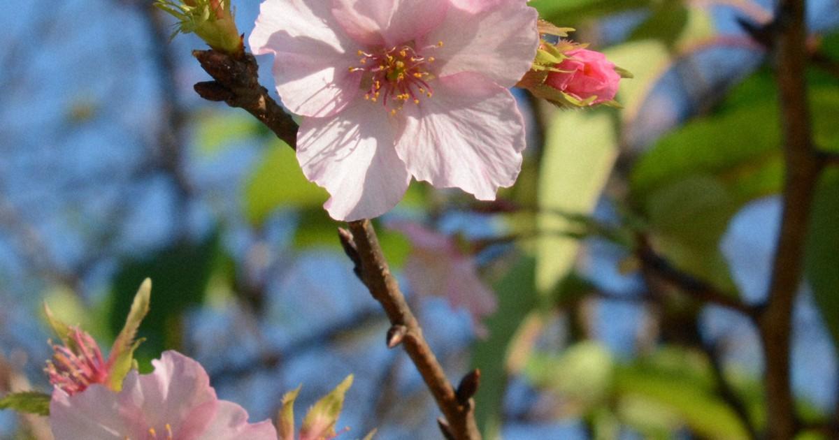 Cerejeiras florescem fora de época no leste do Japão