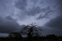 A bird perches on a tree as rain clouds cover the sky in Kochi, Kerala state, India, Saturday, Oct.16, 2021. (AP Photo/R S Iyer)