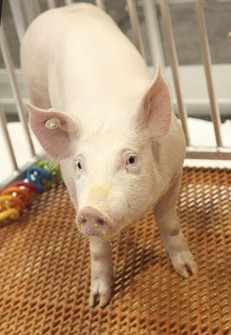 """This undated photo provided by Revivicor in December 2020 shows a """"GalSafe"""" pig which was genetically engineered to eliminate a sugar in pig cells, foreign to the human body, which causes immediate organ rejection. (Revivicor via AP)"""